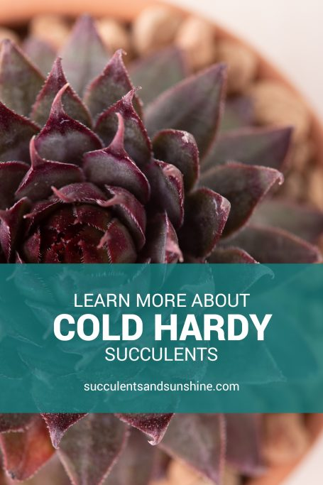 learn more about cold hardy succulents sempervivums