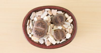 brown lithops white top dressing succulents