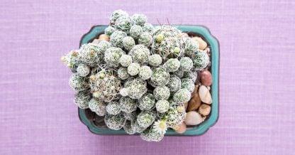 mammillaria gracilis fragilis cactus tiny white flowers