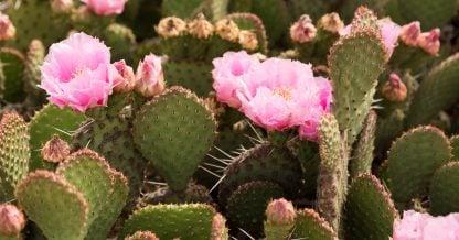 pink optunia flowers