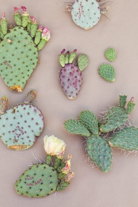 group opuntia cactus pads colorful flowers ready to propagate