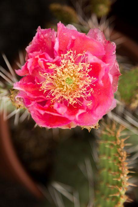 bright pink magenta cold hardy opuntia desert skies flower