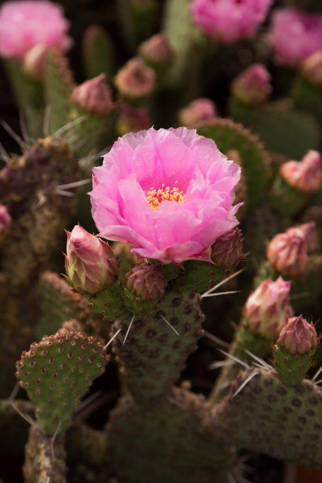 light magenta opuntia cactus flower nel patel