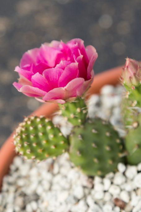 magenta miniature cactus pads flower
