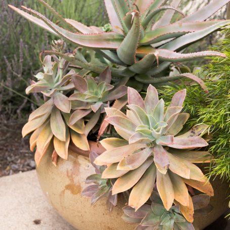 outdoor succulents color