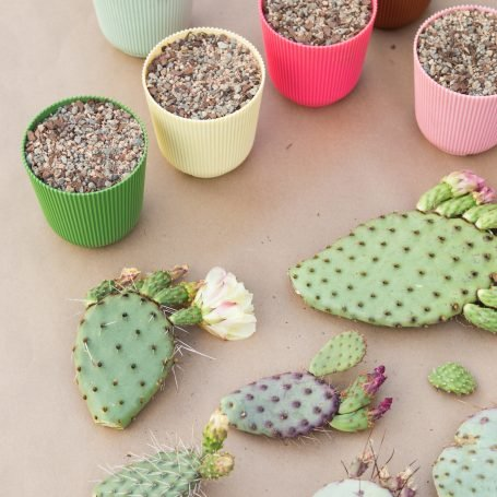 potting cactus pads so they root and grow new plants opuntia