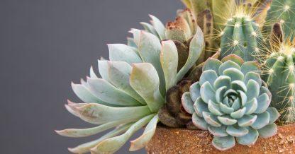 planting sharp succulents cacti arrangement