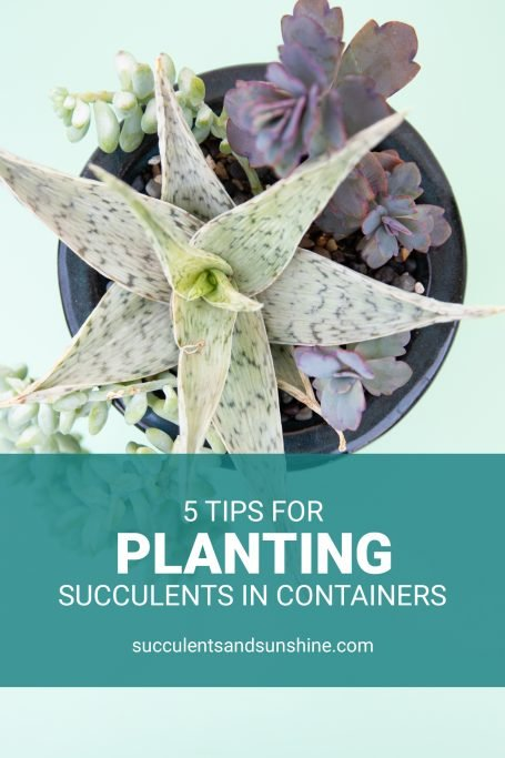 tips for planting succulents in containers arrangements potted aloe kalanchoe sedum purple white