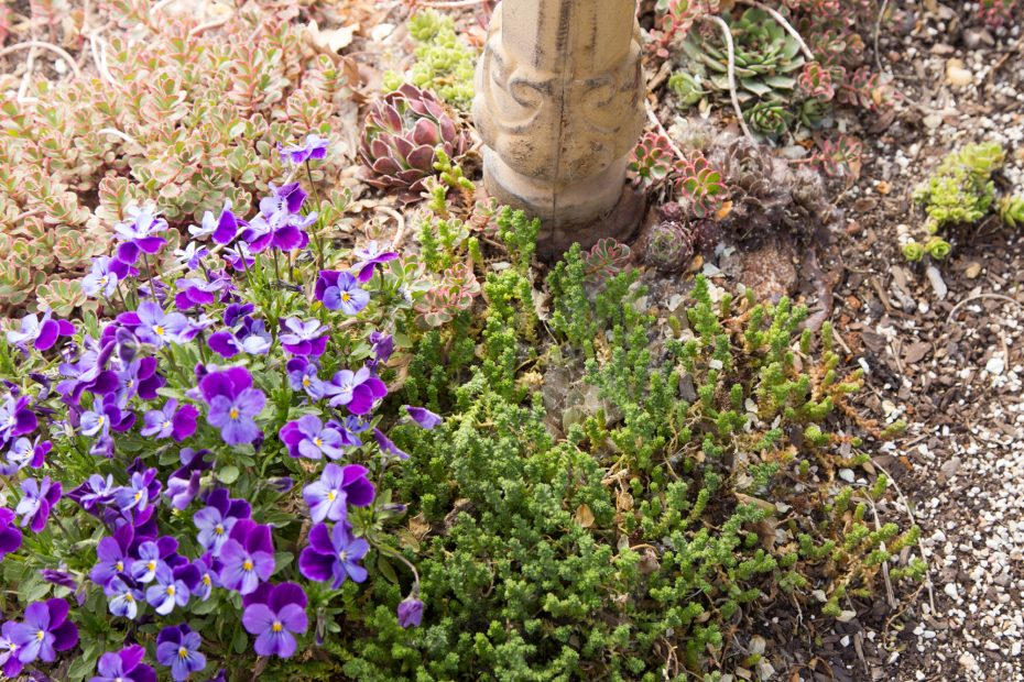 johnny jump ups companion plant succulents bird bath planter sempervivums sedums