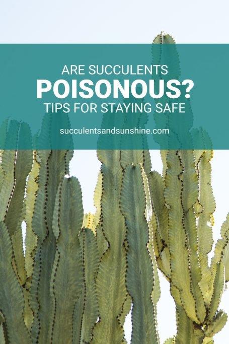 are succulents poisonous stay safe euphorbia
