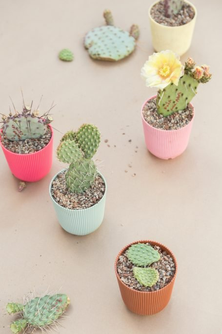 variety of cactus pads potted ready to root and grow new plants opuntia