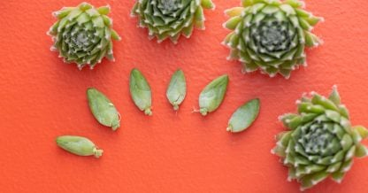 these are easy to propagate succulents chicks leaves cuttings