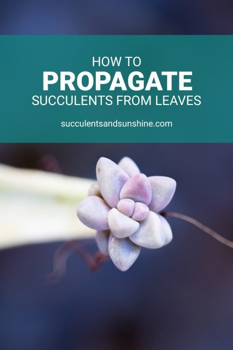 how to propagate succulents from leaves purple