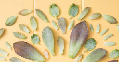 succulent leaves propagation kalanchoe graptoveria sedum