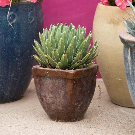 Queen Victoria Agave brown pot