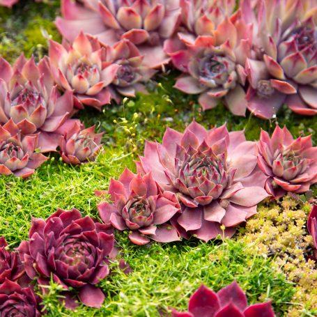 bright red purple sempervivum hens chicks green moss winter dormant