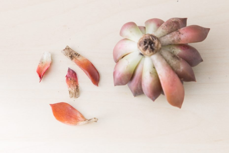 remove dead leaves from succulent cuttings before planting