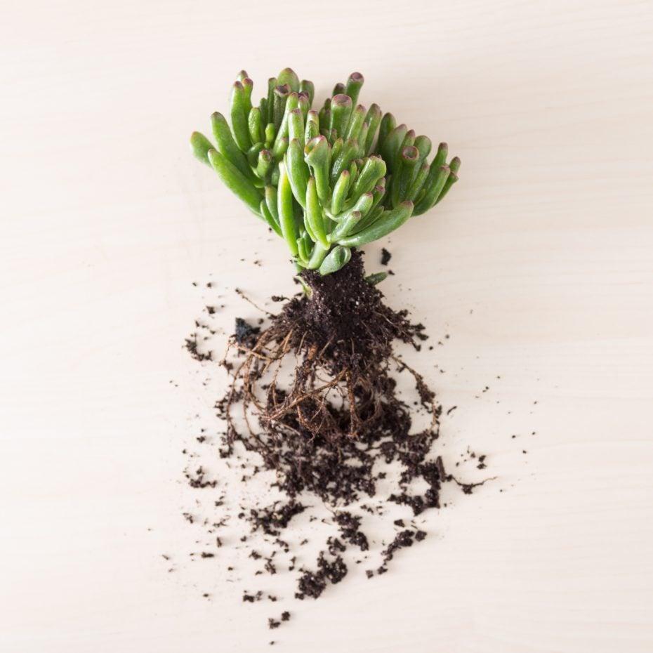 crassula gollum jade wet organic soil roots
