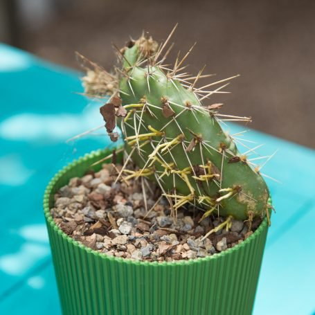 opuntia cactus pad with new roots