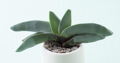 rotting crassula falcata plant problems dying
