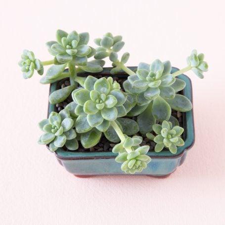 sedum clavatum blue succulent pot planting tips