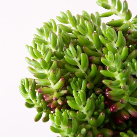 sedum rubrotinctum propagates easily from leaves cuttings