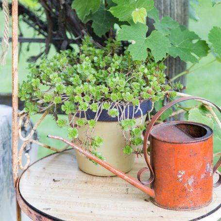 sedums by wateringcan
