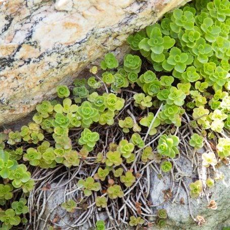 sedums growing between rocks