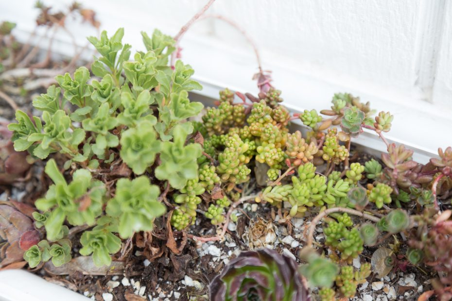 cold hardy sedums spring before fertilizing