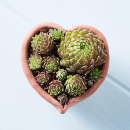 sempervivum hedgehog coconut coir soil terra cotta heart pot
