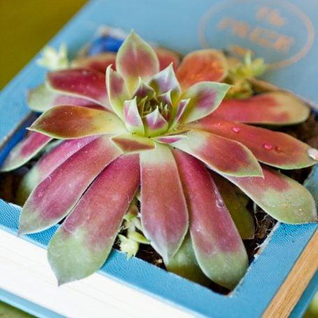 sempervivum succulent planted in blue book