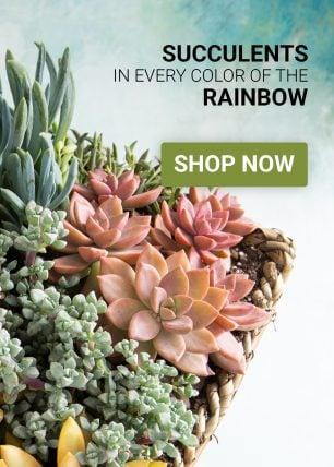 shop for colorful succulents
