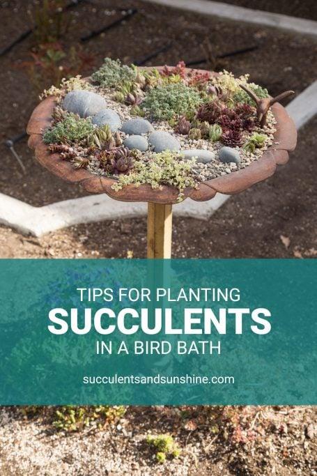 tips for planting succulents in bird bath sempervivum sedum cold hardy