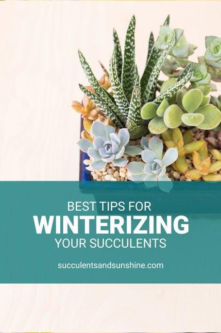 succulent care winter