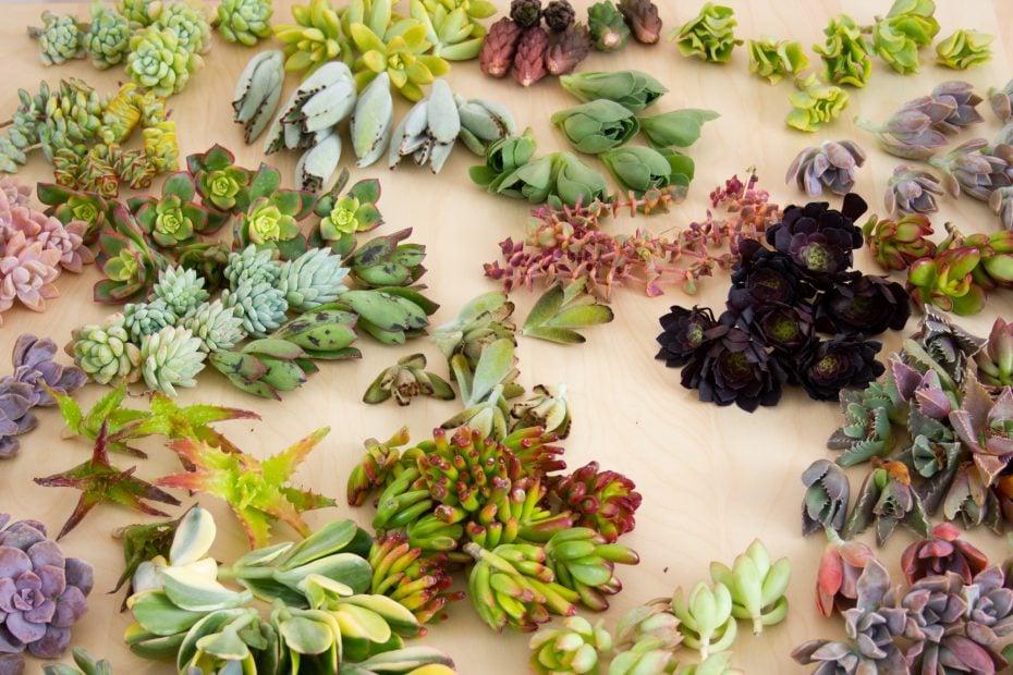 dozens of succulent cuttings colorful