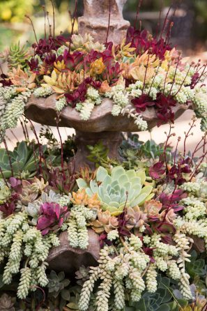 succulent fountain colorful echeverias crassula