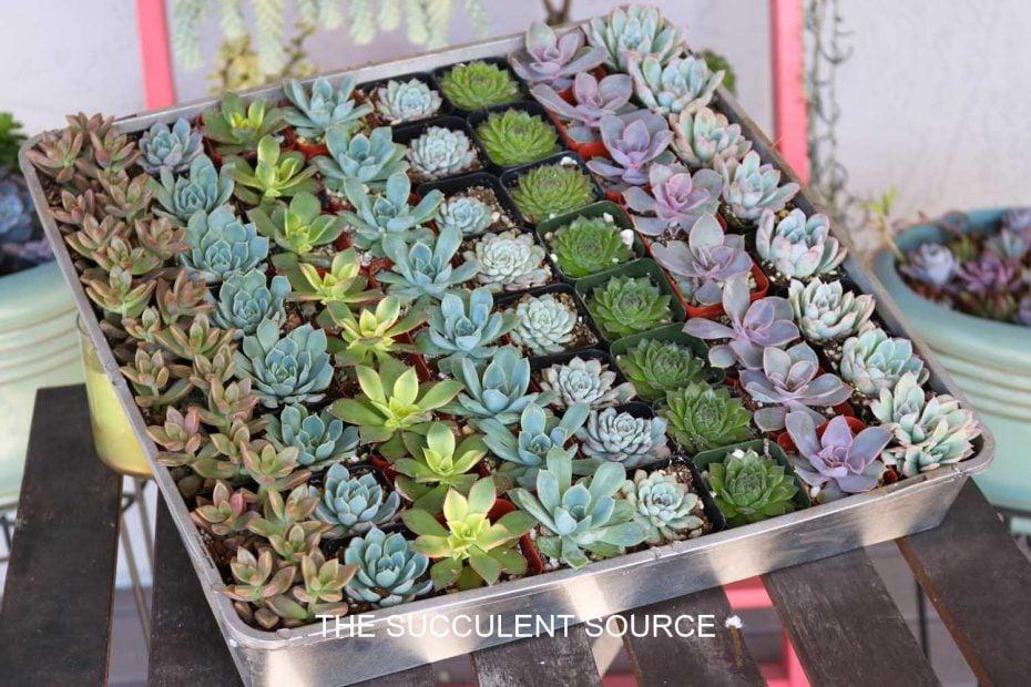 succulents for wedding guest favors diy