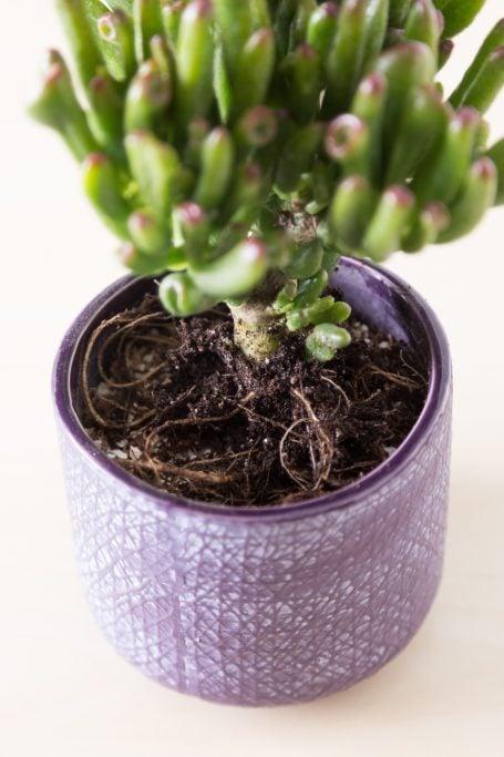 bare root gollum jade in pot planting tutorial