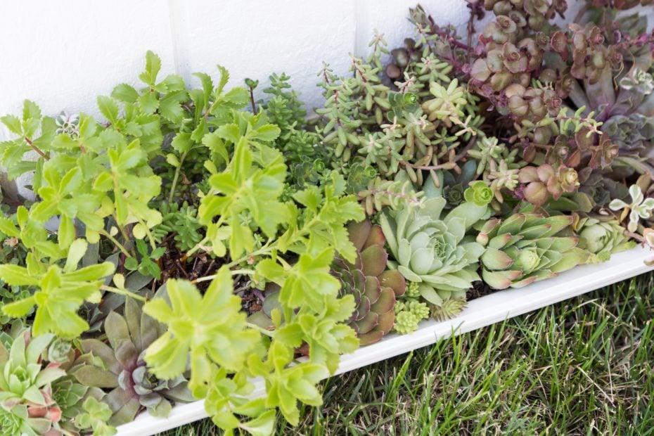 thriving cold hardy sedums sempervivums post-fertilizer