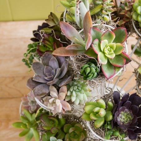 aeonium echeveria sedum haworthiopsis succulent cuttings moss cupcake stand
