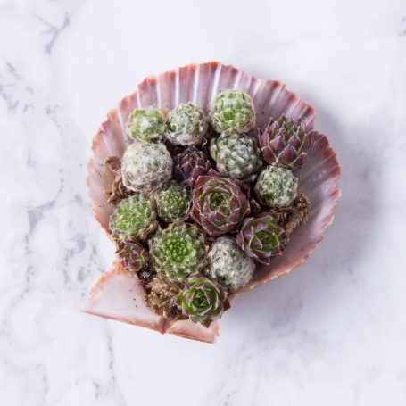 succulents in sea shell