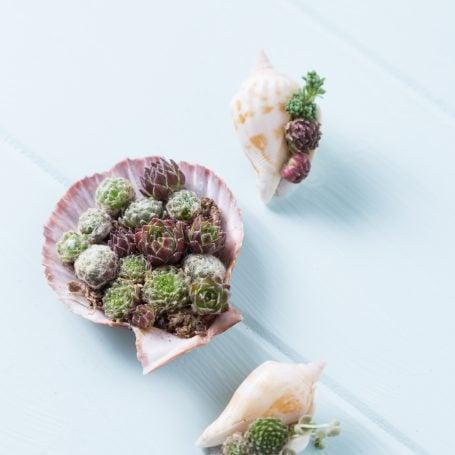 succulents in sea shells