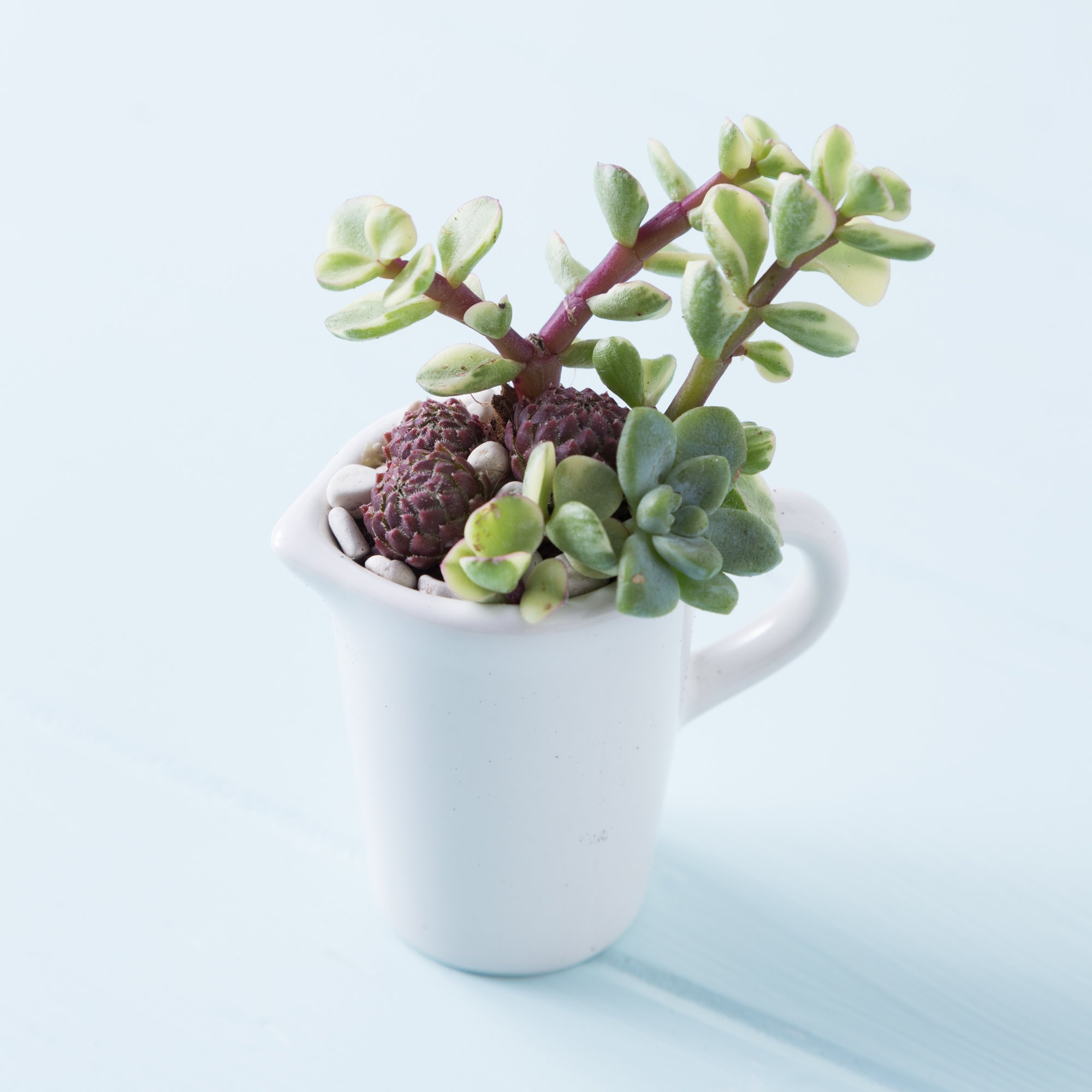 succulents in tiny pitcher