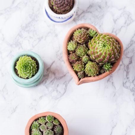succulents in tiny pots