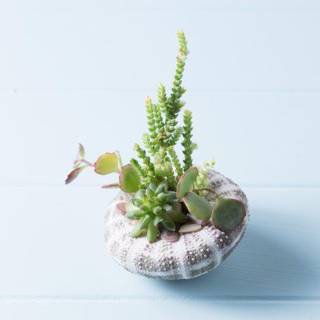 succulents in urchin