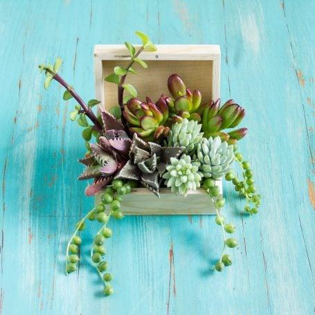 crassula faucari tigrina sedum morganianum portulacaria afra arrangement in wooden box
