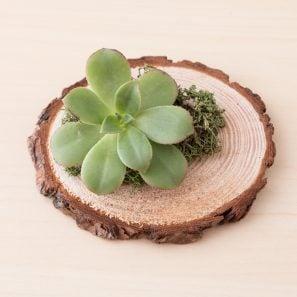 succulents moss wood