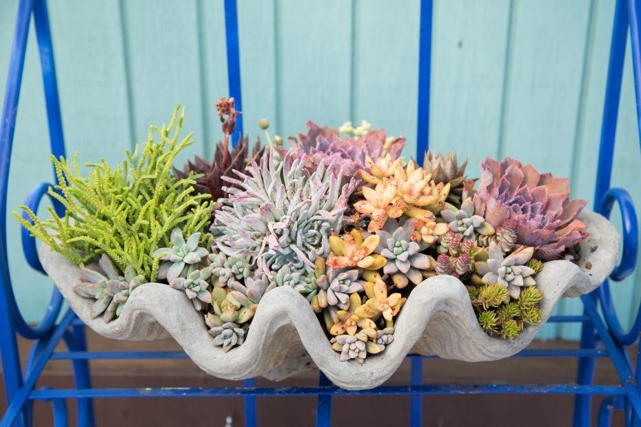 tightly packed succulents close together bright colors clam shell echeveria crassula sedum