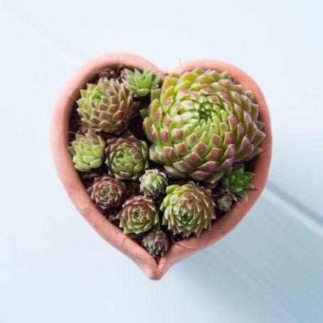 succulents tiny heart pot