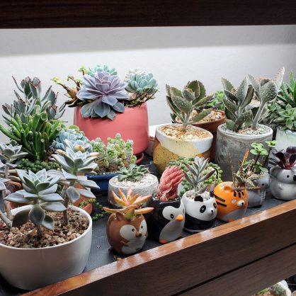 lots of succulents under grow lights inside
